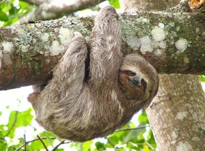 Smiling Sloth hanging from a tree